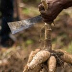 Saint Lucia Boost Cassava Cultivation to Replace 'White Bread'