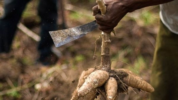 A man cuts cassava root. | Photo: Reuters